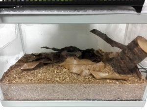 カブト虫飼育
