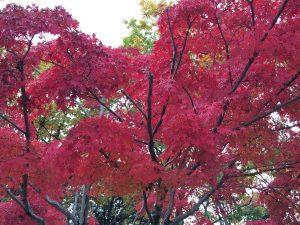 万博記念公園「紅葉」