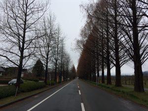 メタセコイア並木:マキノ