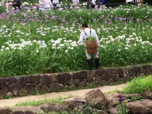 山田池公園 菖蒲園