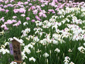 山田池公園 菖蒲園(花しょうぶ園)